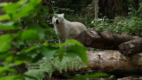 Wolf-Peers-In-The-Woods-And-Howls